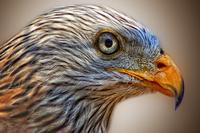 Tiên tri chim ưng Falcon dự đoán Nga vs Saudi Arabia
